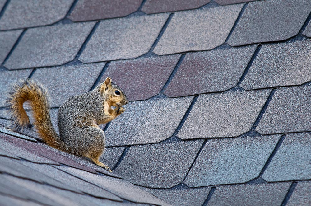 Squirrel on a roof.